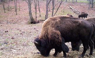Bison Herd, Trexer Game Preserve