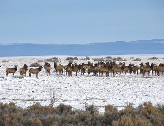 Herd of elk in Rio Grande del Norte National Monument