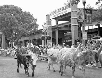 Parade of Longhorns