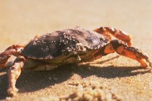 Sand crab at Cape Cod National Seashore