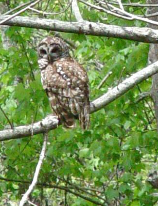 Owl at the Jean Lafitte Preserve