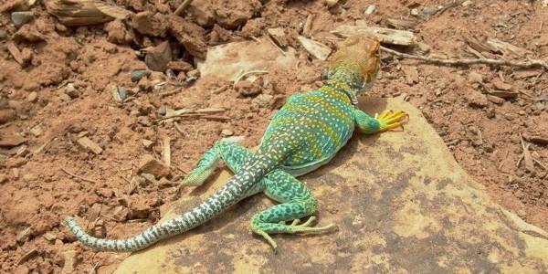 Lizard at Mesa Verde
