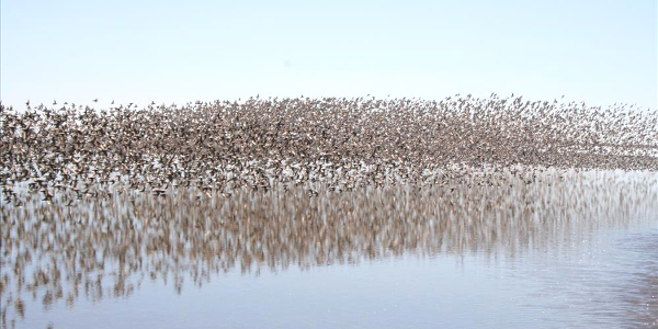 Thousands of birds at Padre Island