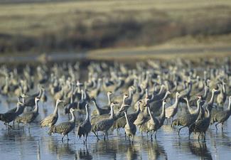Padre Island cranes