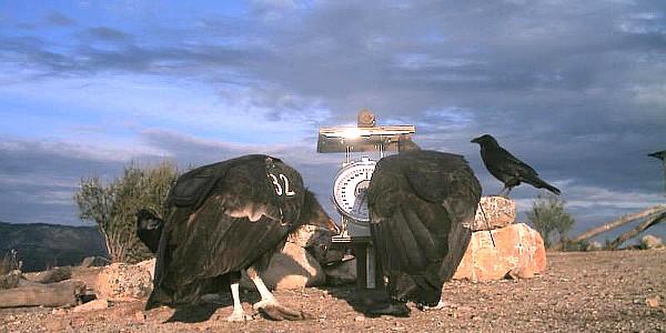 Condors at Pinnacles National Park