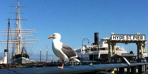 Western Gull at Hyde Pier